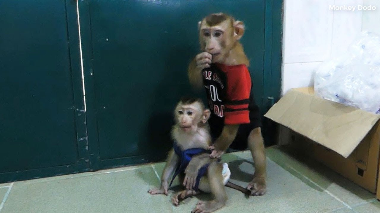 Baby Monkey   Dodo And Brother Weekend Day Routine