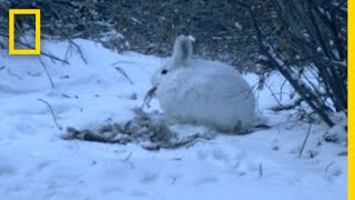 See a Meat-eating Hare Caught In The Act | National Geographic