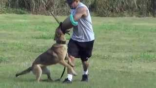 German Shepherd Sable Female Attacking Hard