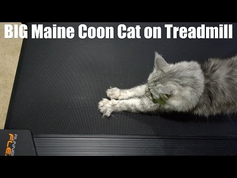 BIG Maine Coon Cat on Treadmill