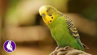 Голос волнистого попугая. Голоса птиц