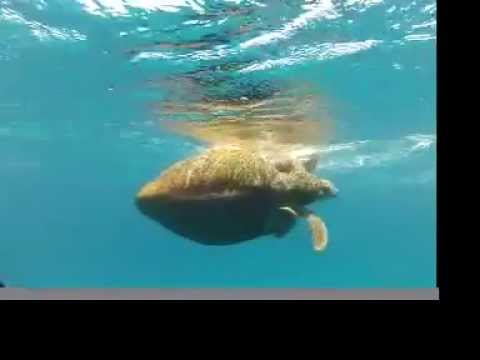 Uncensored! Green Turtles Mating