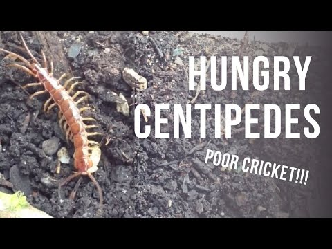 Stone Centipedes eating crickets