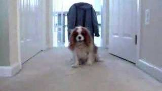 Winston The Cavalier King Charles Spaniel Plays Ball