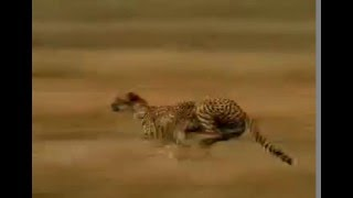 heboh manusia vs macan adu kecepatan berlari