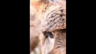 Foire aux ânes de Moyaux 2014