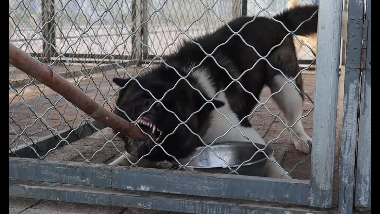 巨大的体型,暴躁的脾气,这种猛犬的护食行为太可怕了!\Huge body and grumpy temper, Akita' food aggression is terrible!