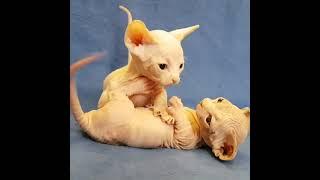 Котята бамбино играют. Милота