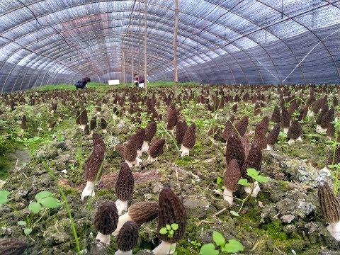 how to grow morel mushroom? morille. we can teach you
