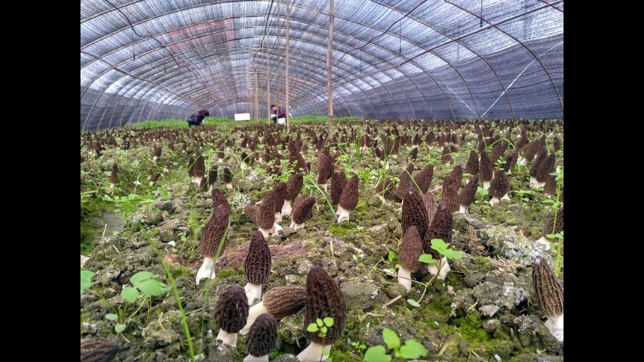 Howto Grow Morel Mushrooms Available