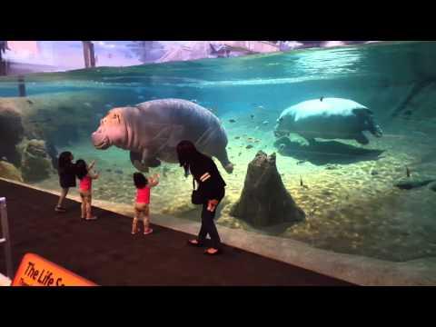 Hippo at Adventure Aquarium - Camden, NJ