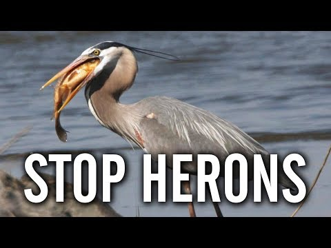 10 Ways To Keep Herons Away From Your Pond