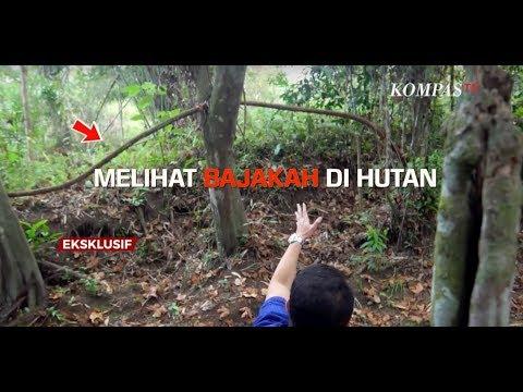 Melihat Bajakah di Hutan Kalimantan - AIMAN