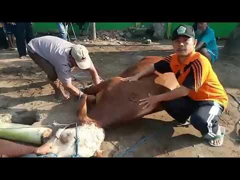 video penyembelihan hewan qurban di tahun 2018