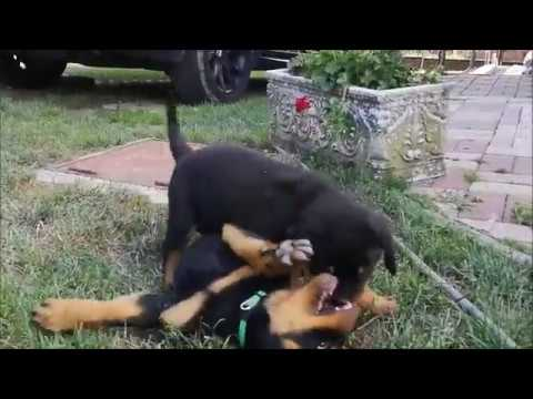 Rottweilers - 8 weeks old puppies - YouTube