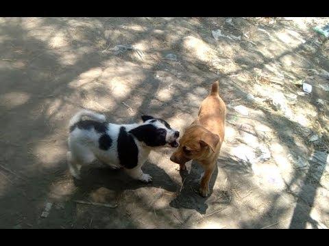 Japanese Chin Dog vs Askal