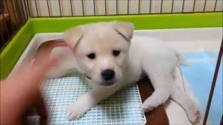 生後1ヶ月の雑種(紀州犬混じり:オス赤ちゃん)を譲り受けた当初の動画...