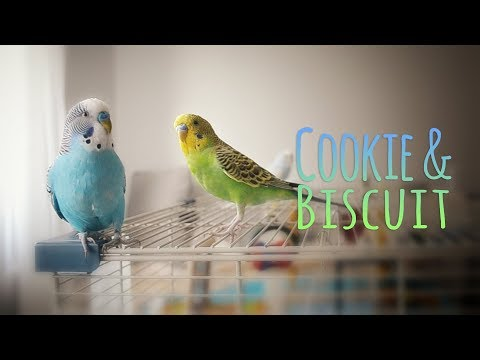 My budgie is obsessed | Vlog #9
