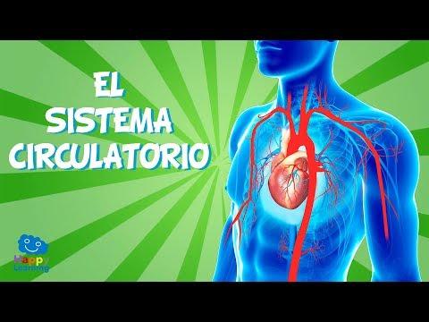 ¿Cuál es la función principal principal del sistema circulatorio?