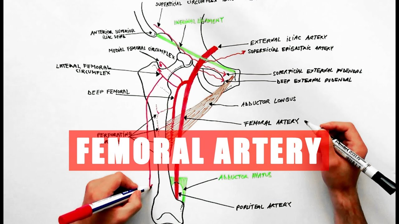 hight resolution of  anatomy femoral tutorial