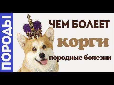 Чем болеет собака королевы? Болезни Корги.