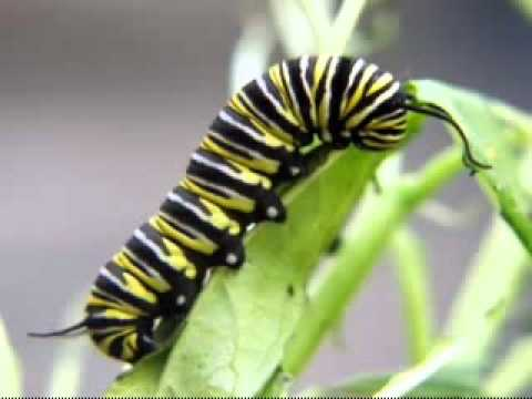 Metamorfosis Kupu-kupu by meliya faradisa - YouTube