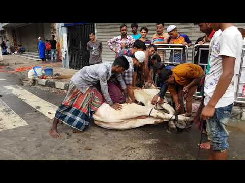 Biggest qurbani cow of Gramsico 2018. Shibbi bull qurbani in Dhaka Bangladesh.