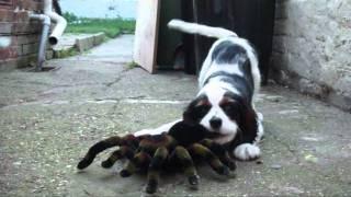 Cavalier King Charles Spaniel - Tricolor (charlie) Vs. Spider
