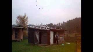 Moje gołębie wyjście z gołębnika
