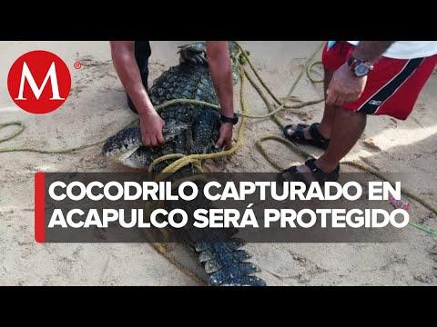 Capturan a cocodrilo en playas de Acapulco