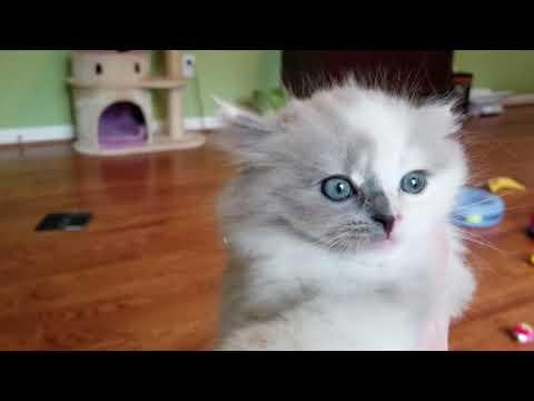 Kaerik RagaMuffin Kittens - www.kaerikrags.com
