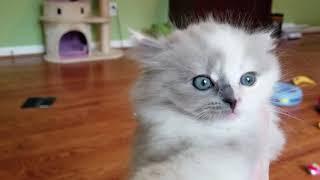 Kaerik RagaMuffin Kittens  www.kaerikrags.com