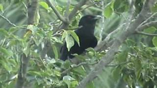 Male Asian Koel - singing / calling sound-Part-1