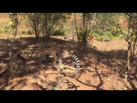 Madagascar travel - ring-tailed lemur