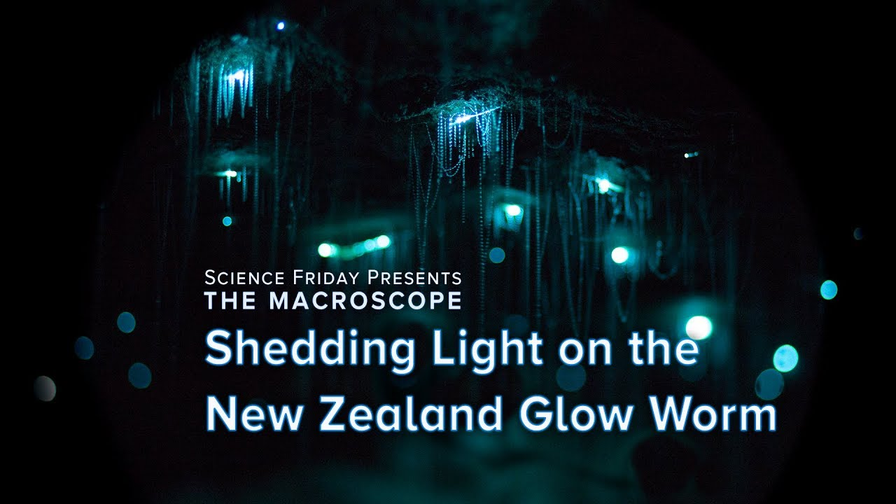 Shedding Light On The New Zealand Glow Worm