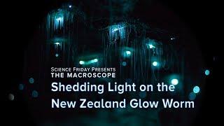 Shedding Light on the New Zealand Glow Worm