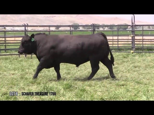 Mid Valley Bull Sale Lot 8