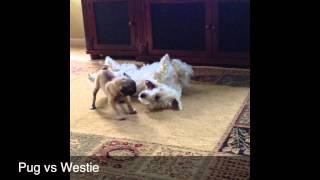 Pug Vs Westie