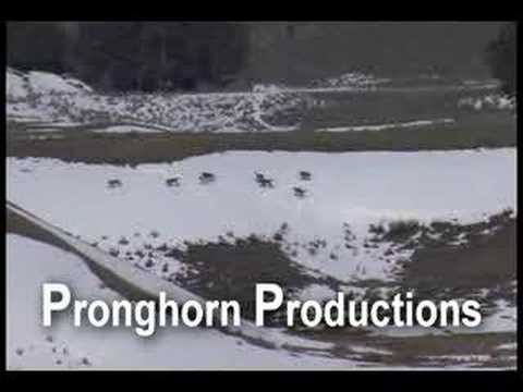 Wolf Pack Playing and Running on Snow at Yellowstone