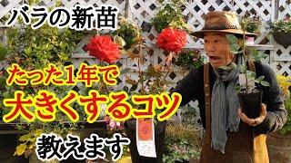 【バラの育て方】失敗しない新苗の栽培方法教えます   【カーメン君】【ガーデニング】【園芸】【初心者】【害虫】【病気】