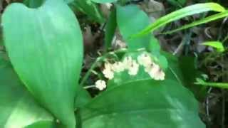 Lily of the valley, rugged shade loving spring flower