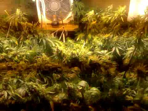 Grow Tent Quot 800 Watts On A Light Rail Quot Youtube