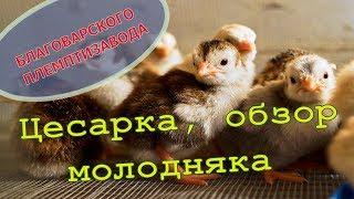 Цесарка, обзор молодняка // Невиданный зверь:) // Мое хозяйство