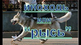 Иноходь? как быстро перевести собаку в рысь? иноходь - рысь - уроки ринговоц дрессировка  и хендлинг