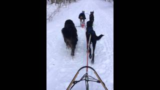 Dog Sledding Rails To Trails - Bellaire, Mi