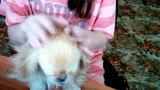 Моя собака Ляля Пикинес*
