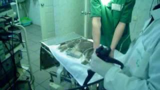 Гастроскопия кота, внешний вид www.endovet.su