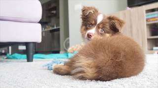 Thank you for watching this video! Boba, 3months old red tri male t...