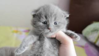 Дневник котят #2 | День 15 - Вислоухие котята