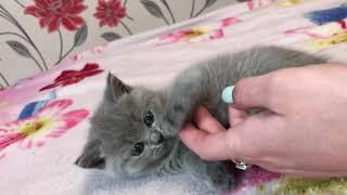 Британская кошка 2,5 месяца